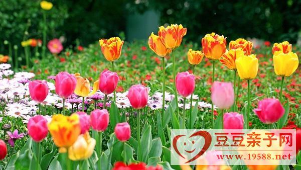 郁金香影响胎儿发育,哪些花不适合孕妇